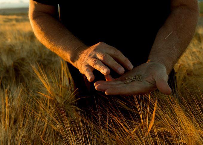 Farmer holding barley grains in a barley field