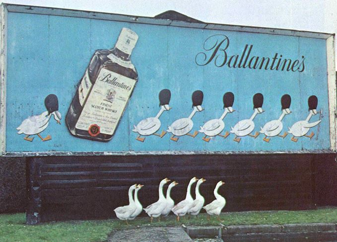 Geese in front of a Ballantine's billboard