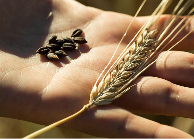Barley grains and ear in hand