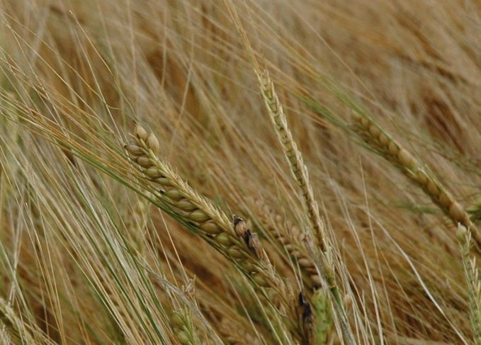 Barley variety used to make whisky