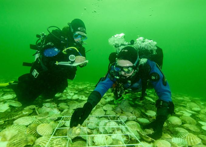 Divers monitoring oysters in the Dornoch Firth